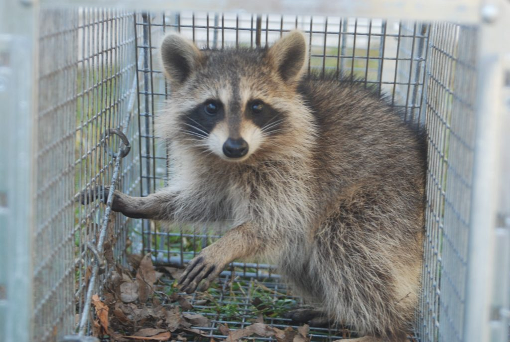 Chillicothe Wildlife Removal